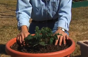 planting a tomato plant in a container
