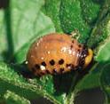 Colorado Potato Beetle larva