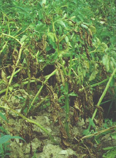 Foliar symptoms of Verticillium wilt.
