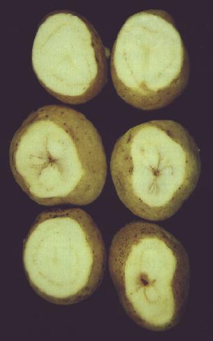 Potato tubers with Verticillium wilt symptoms