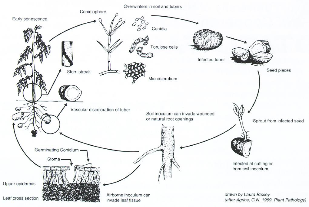 Disease cycle of Verticillium