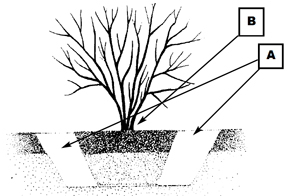 Planting hole should not be dug any deeper than the root ball.
