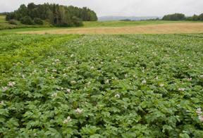 potato field; photo by Edwin Remsberg, USDA