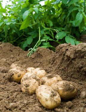 Bulletin 2077 Potato Facts Growing Potatoes In The Home Garden