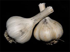Garlic Bulb symptoms of Embellisia Skin Blotch of Garlic