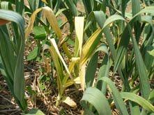 leaf yellowing on garlic plants