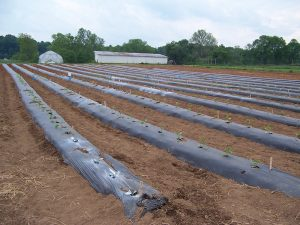 Black plastic mulch covering no-frame raised beds