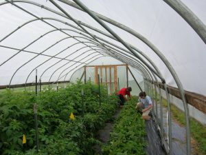 Diverse crops in high tunnel: raspberries, tomatoes, and strawberries