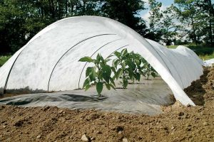Peppers getting an early start in a low tunnel, with row cover supported by wire hoops.