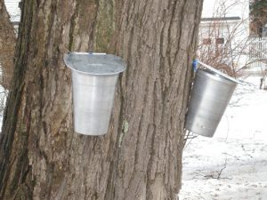 buckets hanging on maple trees to collect sap