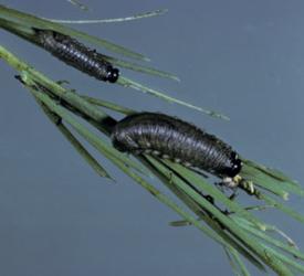 asparagus beetle larvae