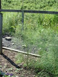 young asparagus fern home garden
