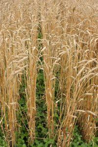 legumes undersown in wheat field