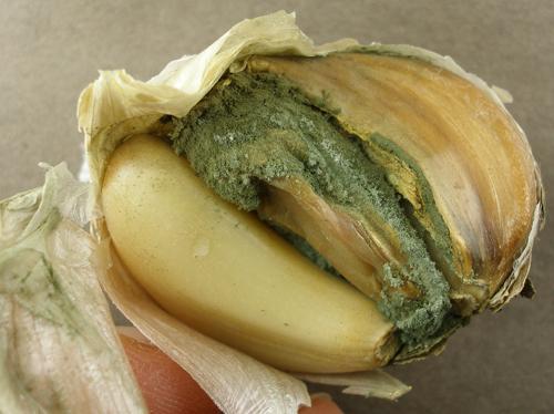 Garlic bulb with Blue Mold