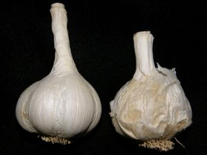 Healthy garlic bulb on left alongside a garlic bulb with Blue Mold.