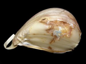 Garlic clove with Blue Mold.