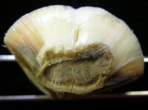 Garlic bulb with Blue Mold on stem.