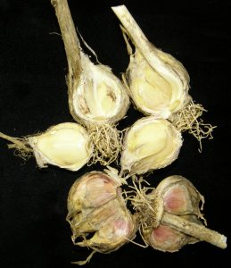 Garlic bulbs infected with Botrytis porri.