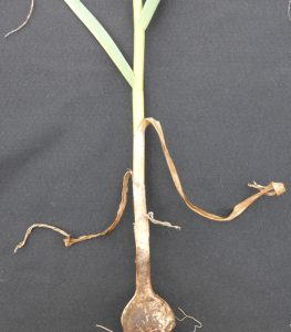garlic plant with three brown lower leaves