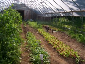 Mixed crops growing in a high tunnel.