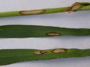 barley leaf scald
