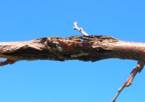 Branches with diseased cankers