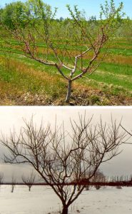 Open center pruning and training of young tree (top) and a fully grown peach tree (bottom).