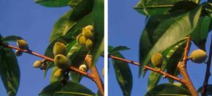 A peach branch before (top) and after (bottom) fruit thinning.