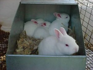 baby rabbits in a nesting box