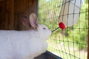 rabbit drinking from a water bottle hung in cage.