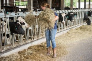 producer feeds dairy cows fresh hay