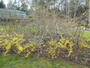 Forsythia with blooms only at the base of the shrub
