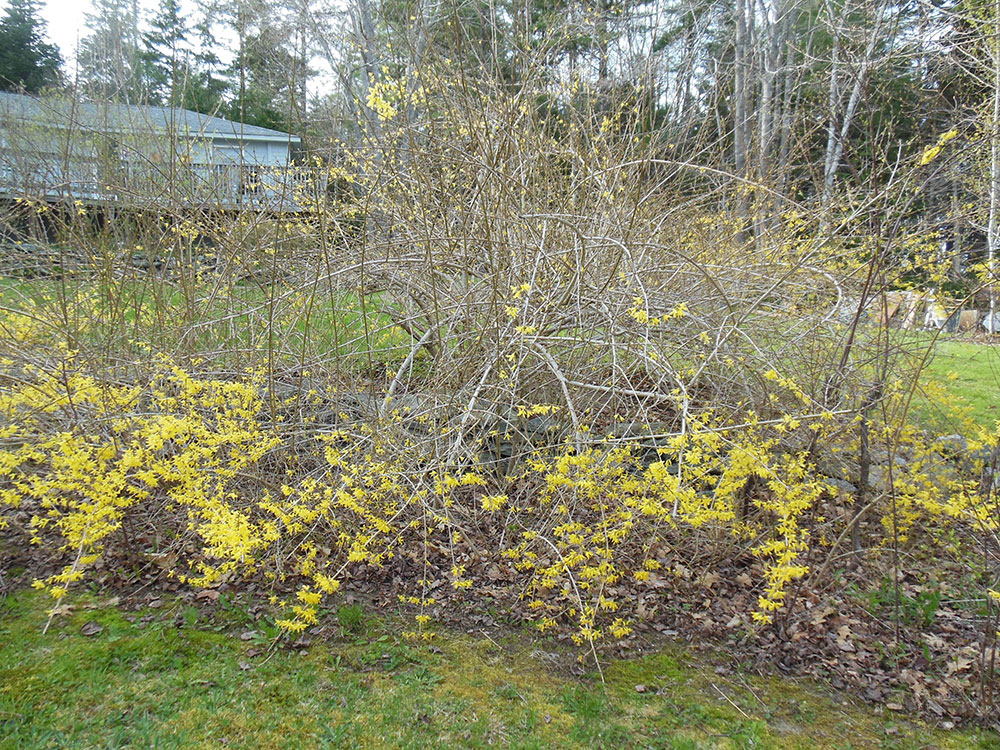 Bulletin 2513 Pruning Forsythias In Maine Cooperative