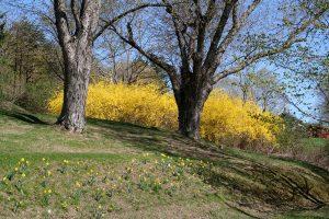forsythia hedge