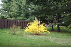 nice looking forsythia with good fountain-like habit in landscape