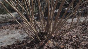 forsythia after pruning