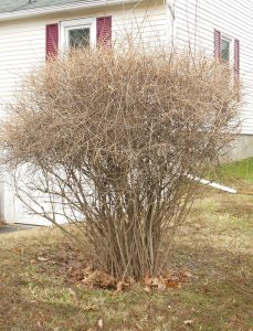 Forsythia sheared at top
