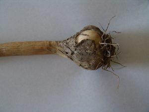 Garlic bulb with masses of Sclerotium cepivorum sclerotia