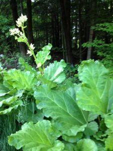 rhubarb gone to seed