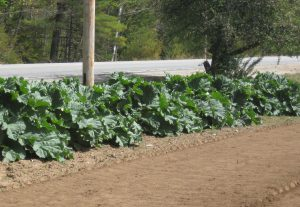 row of rhubarb in garden