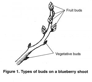 Fruit and vegetative buds on a blueberry shoot with fruit buds and vegetative buds indicated