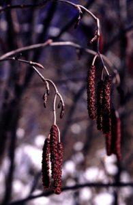 Alnus incana ssp. rugosa catkins