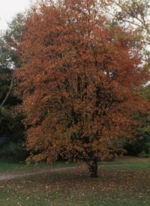 Amelanchier laevis autumn foliage