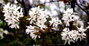 Amelanchier laevis flowers