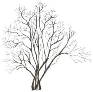 Amelanchier laevis illustration