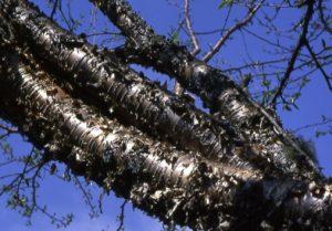 Betula alleghaniensis bark