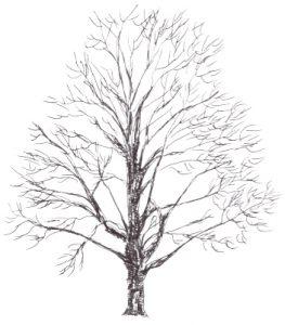 Betula alleghaniensis illustration