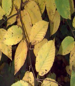 Betula lenta autumn foliage