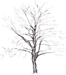 Betula lenta illustration