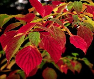 Cornus alternifolia autumn foliage